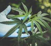 Cannabis Indica – indijska konoplja